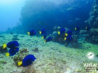 blue fish in red sea diving in eilat