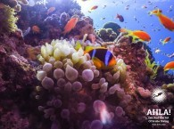 clown fish diving in eilat