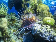 red sea lion fish diving