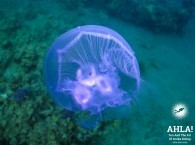 jellyfish in red sea eilat